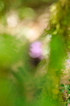 rosa - Photography, ©2009 by Oeildepierre -                                                              impression de fleurs