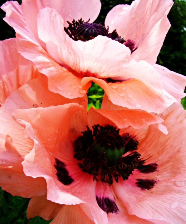 Pink Poppies Iv Paola De Giovanni