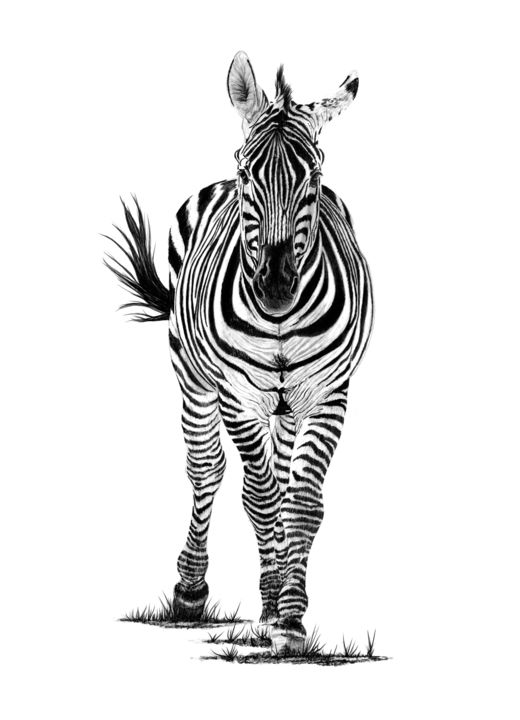 Zebra - Drawing,  21.7x15.8 in, ©2019 by Paul Stowe -                                                                                                                                                                                                                                                                                                                                                                                                                                                                                                                                                                                          Figurative, figurative-594, Agriculture, Airplane, Black and White, artwork_cat.Horses, Nature, zebra, africa, wildlife, wild animal, stripes