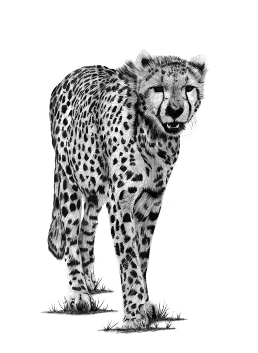 Cheetah - Drawing,  21.7x15.8 in, ©2019 by Paul Stowe -                                                                                                                                                                                                                                                                                                                                                                                                                                                                                                                                              Figurative, figurative-594, Animals, Black and White, artwork_cat.Cats, Nature, cheetah, big cats, africa, african, wilflife
