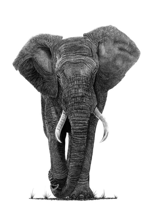 Bull Elephant - Drawing,  21.7x15.8 in, ©2019 by Paul Stowe -                                                                                                                                                                                                                                                                                                                                                                                                                                                                                                                                              Figurative, figurative-594, Animals, Asia, Black and White, Nature, africa, elephant, wild, wild animal, beast