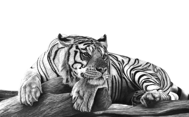 Resting Tiger - Drawing,  13.8x19.7 in, ©2019 by Paul Stowe -                                                                                                                                                                                                                                                                                                                                                                                                                                                                                                                                              Hyperrealism, hyperrealism-612, Animals, Asia, Black and White, Cats, Nature, big cats, tiger, sleep, sleeping tiger