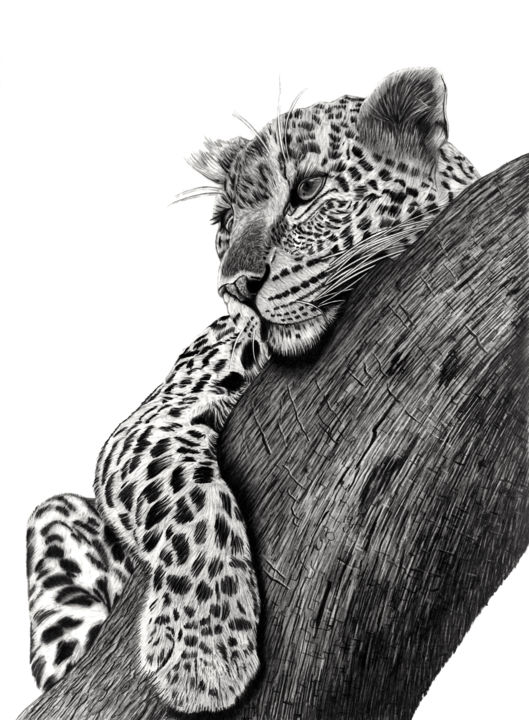 Resting Leopard - Drawing,  21.7x15.8 in, ©2019 by Paul Stowe -                                                                                                                                                                                                                                                                                                                                                                                                                                                                                                                                                                                          Figurative, figurative-594, Animals, Asia, Black and White, Cats, big cats, africa, leopard, tree, wildlife, hyperealism