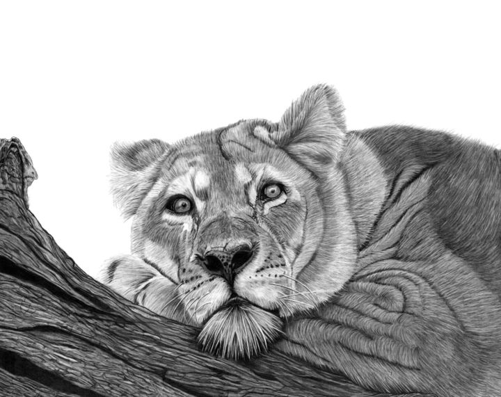 Resting Lion - Drawing,  13x16.5 in, ©2019 by Paul Stowe -                                                                                                                                                                                                                                                                                                                                                                                                                                                                                                                                              Figurative, figurative-594, Animals, Black and White, Cats, Nature, Big Cats, Africa, African, Wildlife, Safari