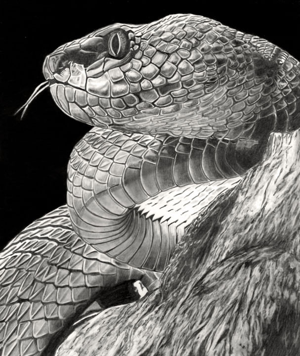SSSssss.... - Drawing,  12.2x10.2 in, ©2020 by Paul Stowe -                                                                                                                                                                                                                                                                                                                                                                                                                                                                                                  Hyperrealism, hyperrealism-612, Animals, Black and White, Nature, snake, wildlife, viper, adder, hyperrealism