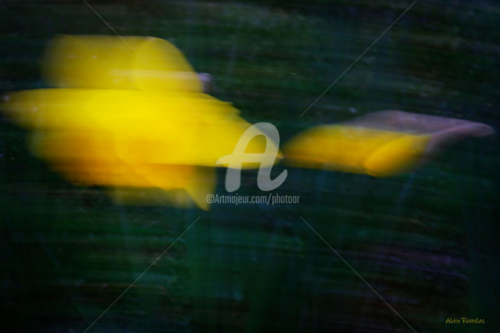 """Photography titled """"Daffodil in the mea…"""" by Alain Romeas (PhotoAR), Original Art, Digital Photography"""