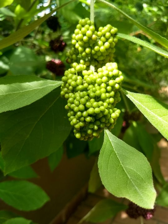 Green Berries - © 2018 Photography, Pic, Picture, Image, Nice, Cool, Pretty, Awesome, Vibrant, Plant, Plants, Plant Life, Leaves, Beautiful, Spectacular Online Artworks