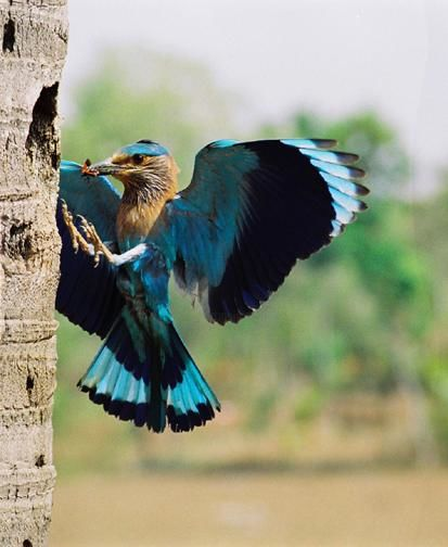 """Photography titled """"INDIAN ROLLER"""" by Arun Urs, Original Art,"""