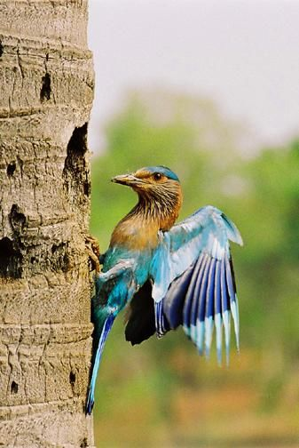 """Photography titled """"INDIAN ROLLER 1"""" by Arun Urs, Original Art,"""