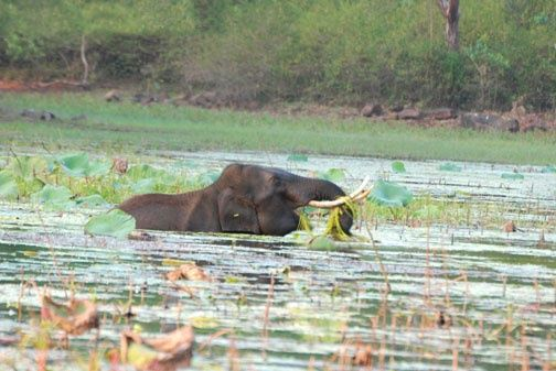 """Photography titled """"THE SWAMP ELEPHANT"""" by Arun Urs, Original Art,"""
