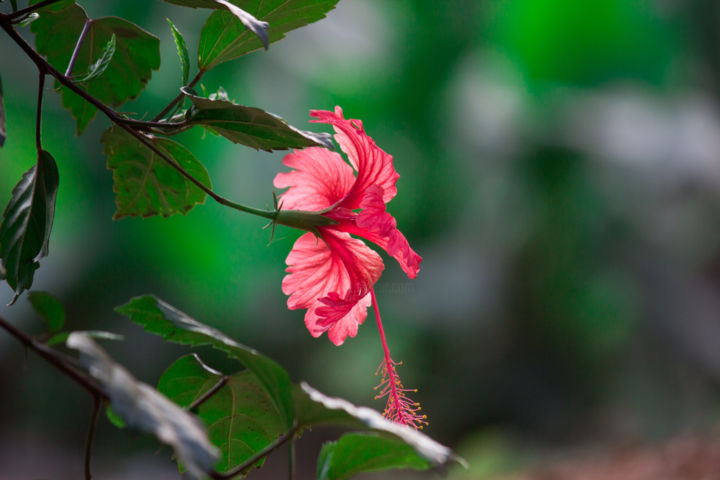 Hibiscus flower robbie ross hibiscus flower photography 5184x3456 cm 2018 by robbie ross izmirmasajfo Choice Image