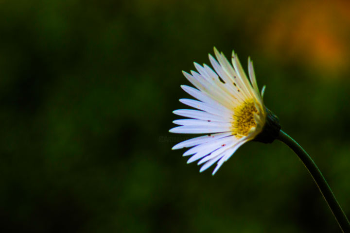 """Photography titled """"Single Flower"""" by Robbie Ross, Original Art,"""