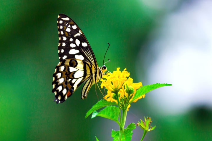 """Photography titled """"Common Lime Butterf…"""" by Robbie Ross, Original Art,"""