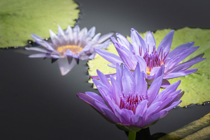 """Photography titled """"Water Lilies"""" by Ronald Santini, Original Art,"""
