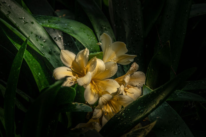 """Photography titled """"Sun Drenched Clivia"""" by Ronald Santini, Original Art,"""