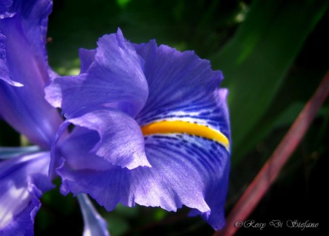 Iris - Photography ©2012 by Rosy Di Stefano -            Photography