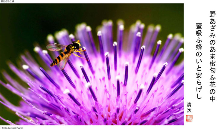 Thistle and bee (Photography and Tanka).jpg - Photography ©2015 by SEIJI KAMO -