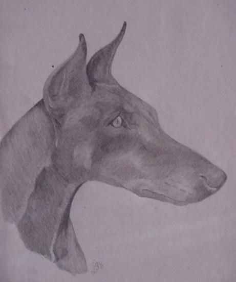 Doberman male - Drawing, ©2005 by Shannon Young -