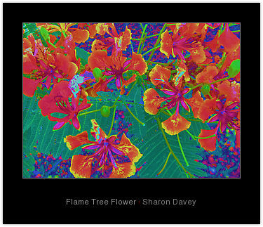"""Photography titled """"Flame Tree Flower"""" by Sharon Davey, Original Art,"""