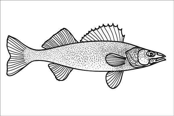 Mobile Walleye Fish Drawing Sketch Coloring Page