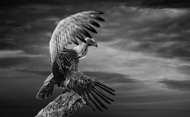 The white backed vulture spreading its wings photography 45x27 82x0 1