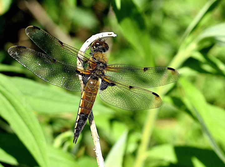 """Photography titled """"July Dragonfly"""" by Susanna Doma, Original Art,"""