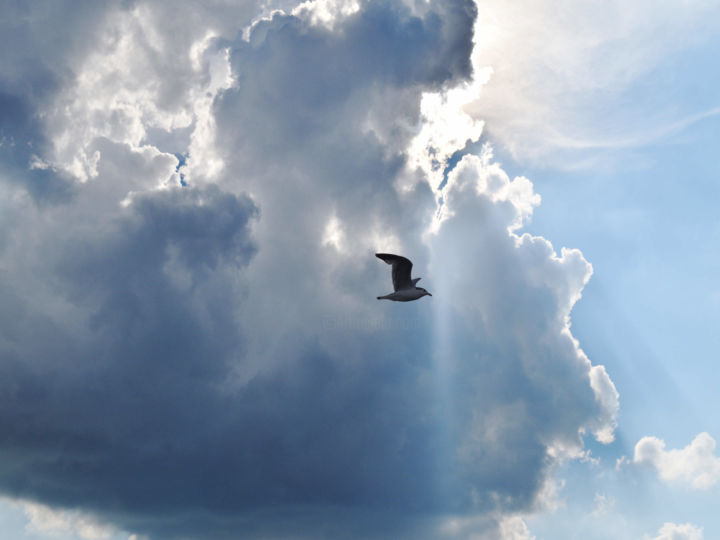 """Photography titled """"gull-in-flight-sdom…"""" by Susanna Doma, Original Art,"""