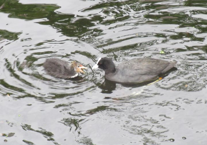 coots - Photography ©2019 by Tom Schrijver -                        Birds
