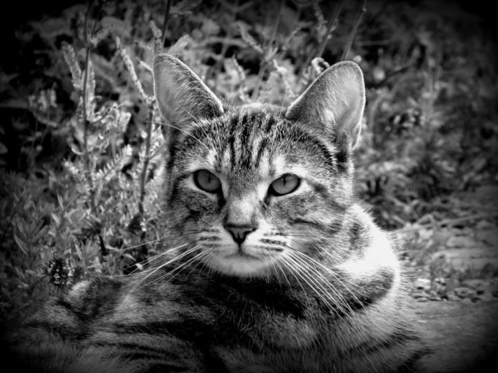 cat - Photography ©2019 by Tom Schrijver -                            Animals, Black and White