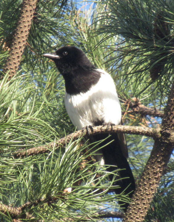 magpie - Photography, ©2019 by Tom Schrijver -                                                              Birds