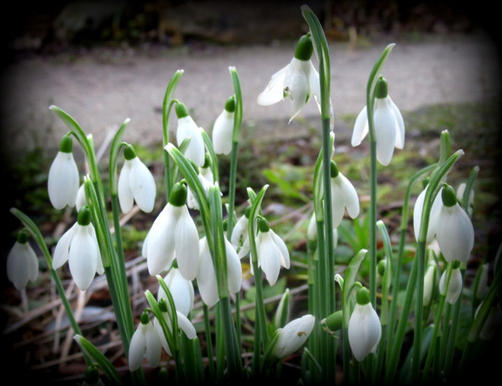 snowdrops - Photography, ©2019 by Tom Schrijver -                                                              Flower