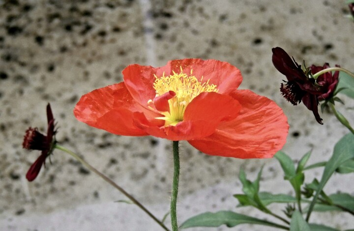 poppy-red - Photography ©2019 by Tanja Niegsch -                                            Photorealism, Flower, blume, mohn, rot, flora, fauna