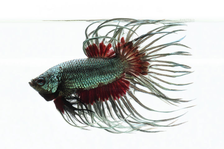 """Photography titled """"Copper Crowntail Be…"""" by Patchara Aunsangchan, Original Art, Digital Photography"""