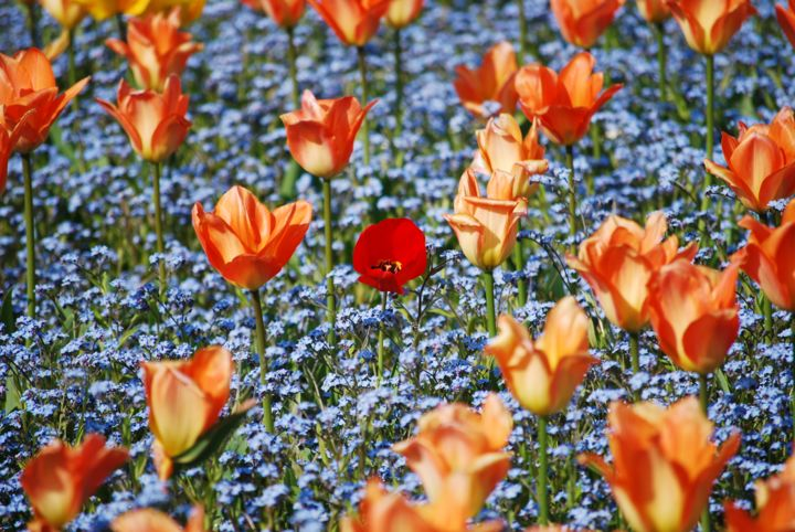 Different - Photography,  31.5x47.2 in, ©2020 by Alexandru Neagu -                                                                                                                                                                                                                                                                                                                                          Flower, flower, color, spring, nature, poppy, tulips