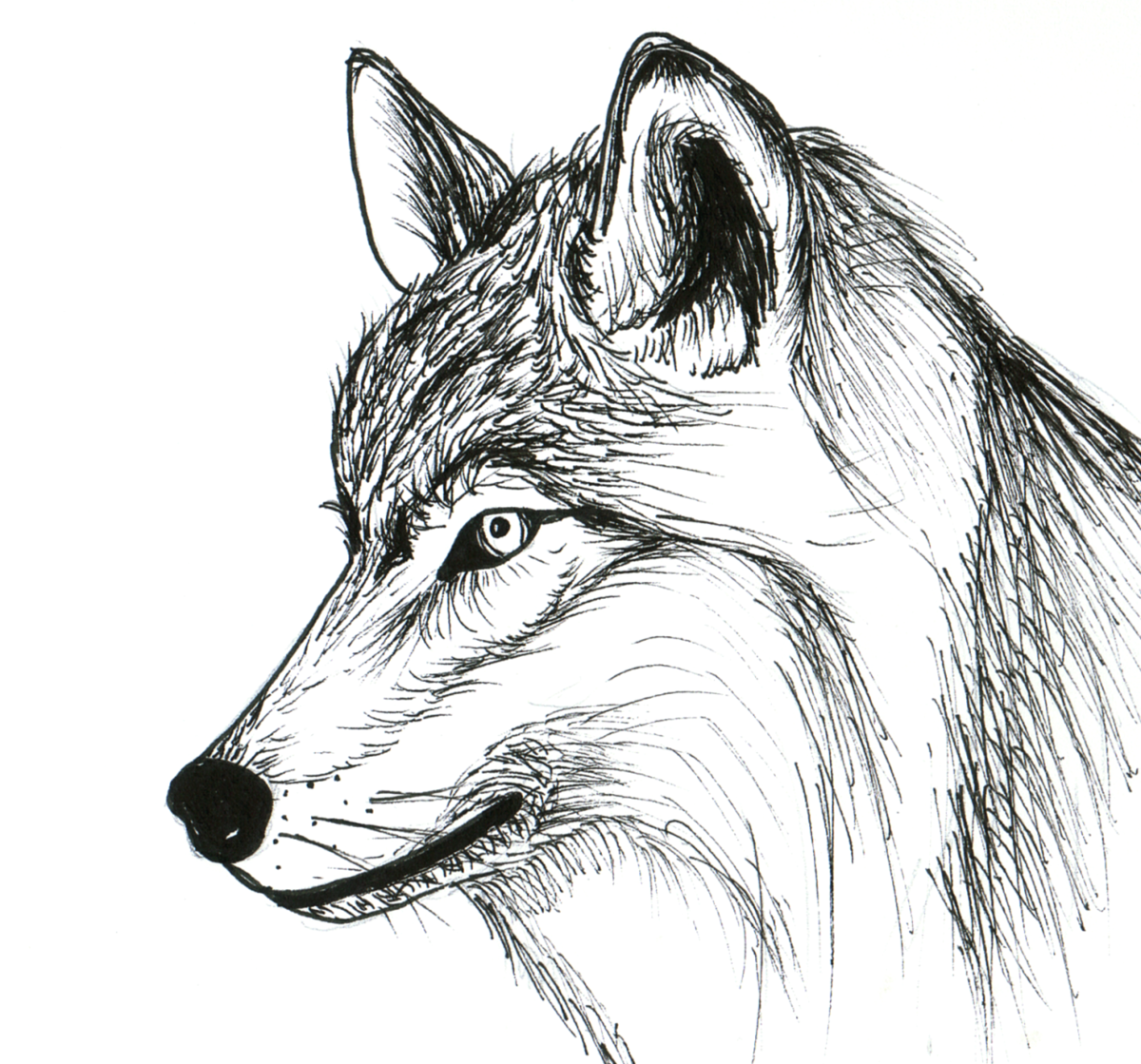 Dessin loup related keywords dessin loup long tail - Loup a dessiner ...