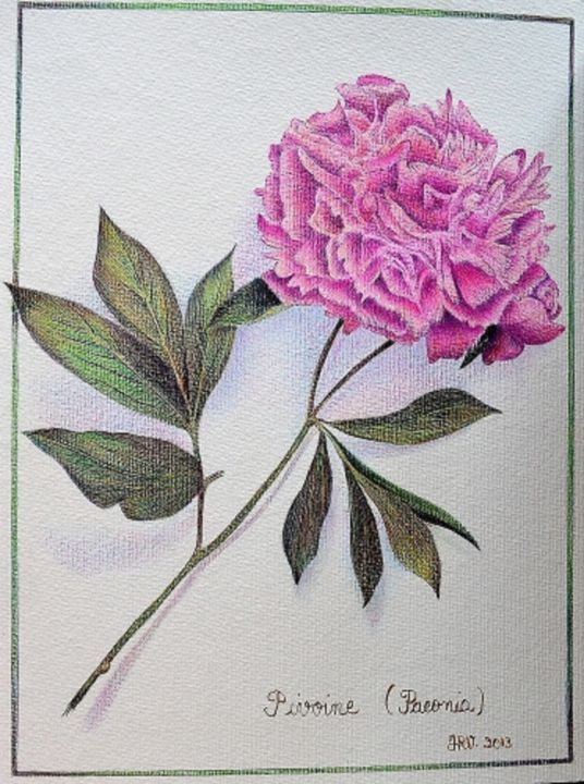 La pivoine - Stylo bille - Dessin,  12,6x9,5 in, ©2013 par Valérie Jouffroy Ricotta -                                                                                                                                                                                                                                                                                                                                                              Illustration, illustration-600, Botanique, pivoine, botanique, illustration, stylo bille