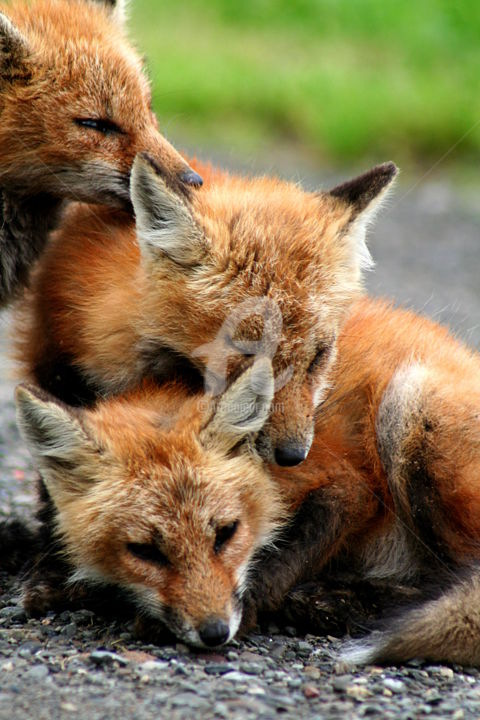 Red-fox-pups - Photography ©2013 by Redreamer -            Redreamer, red fox, fox pups, red fox litter, redreamer, wendy bandurski-Miller
