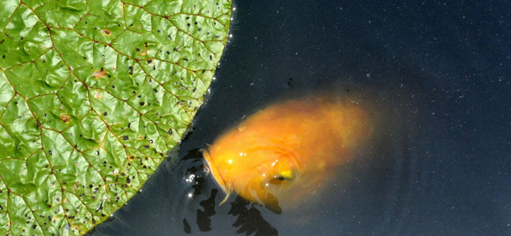 """Photography titled """"My Lily Pad.jpg"""" by William Olexik, Original Art, Digital Photography"""