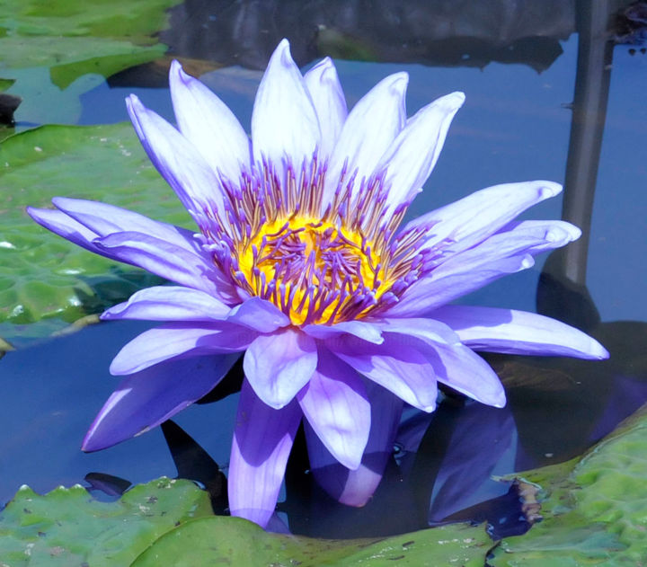 """Photography titled """"Purple Water Lily.j…"""" by William Olexik, Original Art,"""