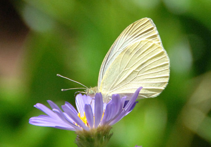 """Photography titled """"Butterfly.jpg"""" by William Olexik, Original Art,"""