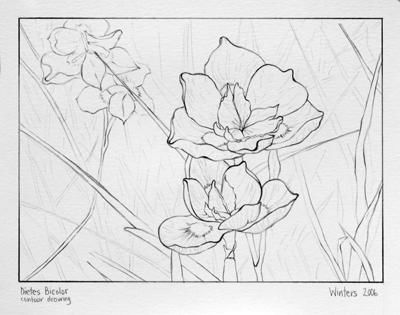 Dietes Bicolor (contour drawing) - Painting,  9x12 in, ©2006 by Winters -