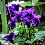 """Photography titled """"** Violettes **"""" by Patrice Le Gall, Original Art,"""